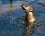 Otter in the Lake.jpg