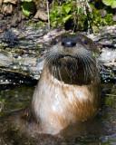 Otter Closeup.jpg