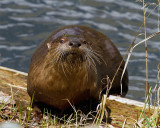 River Otter on a Log at Trout Lake.jpg