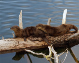 Two River Otters on a Log.jpg