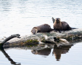 Two Otters on a Log Reflected.jpg