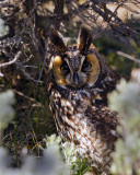 Long Eared Owl in the Sage at Little America.jpg