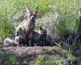Fox Vixen with Two Kits at Yellowstone Picnic Area.jpg