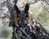 Long Eared Owl Closeup.jpg