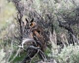 Long Eared Owl Hiding Out.jpg