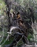 Long Eared Owl in Little America.jpg