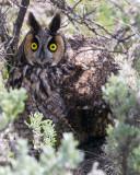 Long Eared Owl Under a Bush.jpg