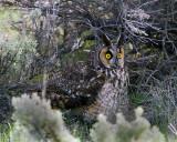 Long Eared Owl on the Ground.jpg