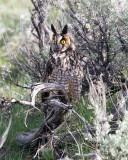 Long Eared Owl Perched on a Sagebush.jpg