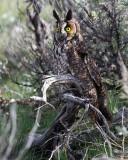 Long Eared Owl Perched.jpg