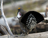 Dusky Grouse in Mating Plumage at Lake Butte Overlook.jpg