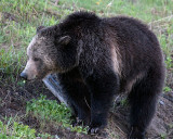 Grizzly Sow at Sedge Bay.jpg