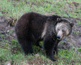 Grizzly Sow on the Hillside.jpg