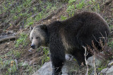Grizzly Sow on the Hill at Sedge Bay.jpg