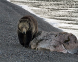 Grizzly on the Beach at Sedge Bay.jpg
