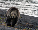 Grizzly alongshore.jpg