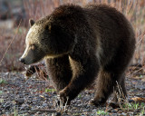 Grizzly in the Willows.jpg