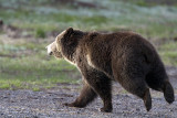 Grizzly on the Run.jpg