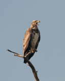 Juvenile Bald Eagle Calling.jpg