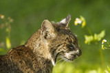 Bobcat Kitten Looking at the Flower.jpg