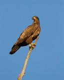 Juvenile Bald Eagle.jpg