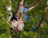 Barred Owl Near the Dock.jpg