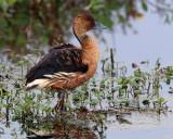 Fulvous Whistling Duck.jpg