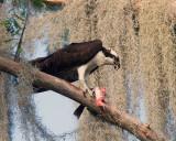 Osprey Feeding.jpg