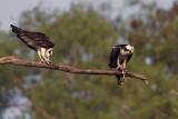 Two Osprey Having Lunch.jpg