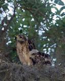Momma and Baby Hawks.jpg