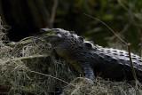 Young Gator.jpg