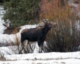 Moose Munching on Willow.jpg