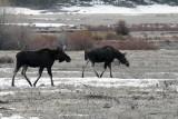 Two Moose at Pebble Creek.jpg