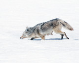 Coyote Sinking in the Snow.jpg