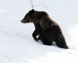 Hobo Bear at Sedge Bay in the Snow.jpg