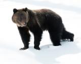 Hobo Bear Walking Through the Snow.jpg