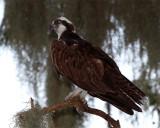 Osprey on AA.jpg