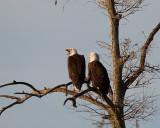 Eagle Calling.jpg