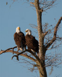 Eagle Pair.jpg