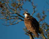 Osprey at the Crossroads.jpg