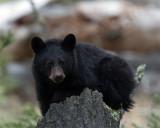 Black Bear Cub on a Stump at Calcite Springs.jpg