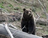 Hobo Bear on a Log.jpg