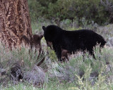 Black Bear with Cinnamon Cubs.jpg