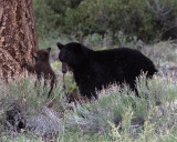 Black Bear Sow with Two Cinnamon COY.jpg