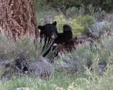 Black Bear Nursing.jpg
