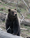 Hobo Bear Sniffing the Air.jpg