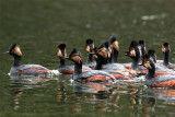 Eared Grebes at Trout Lake.jpg