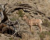 Bighorn Lamb in Gardiner Canyon.jpg