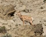 Bighorn Lamb on the Rock.jpg