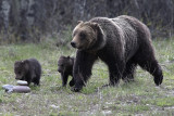 Grizzly 610 with her Cubs.jpg